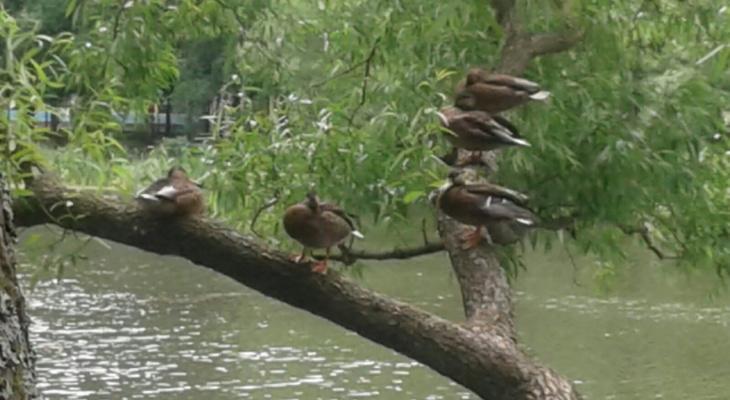 В Ярославле на дереве застряла раненая утка
