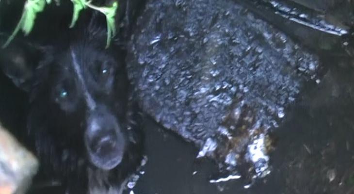 В Ярославле собака провалилась в канализацию: фото спасательной операции