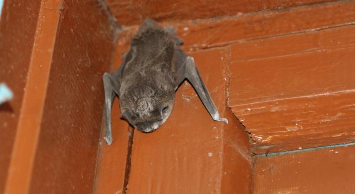 Страшная соседка: летучая мышь поселилась в доме у рыбинцев