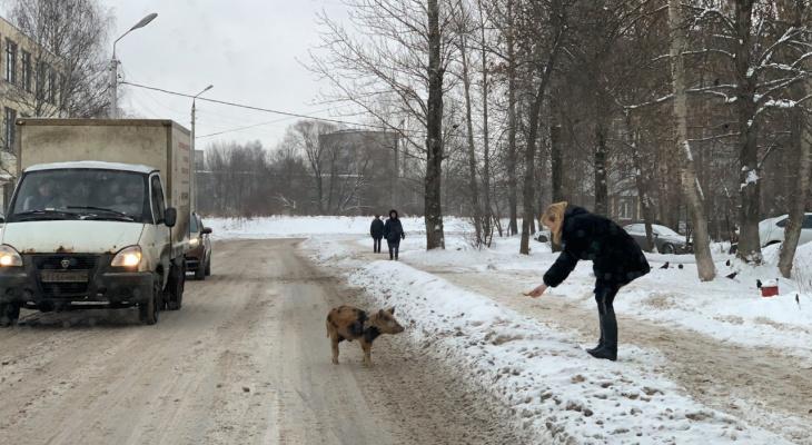 Голодные и милые: живые символы года гуляют по Ярославлю