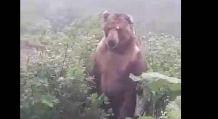 Громила выскочил из-за кустов: ярославцы обсуждают в сети видео с медведем