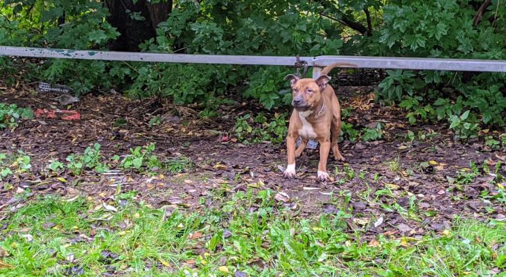 Безумно скулит на привязи: в Брагино ищут хозяина, бросившего пса умирать