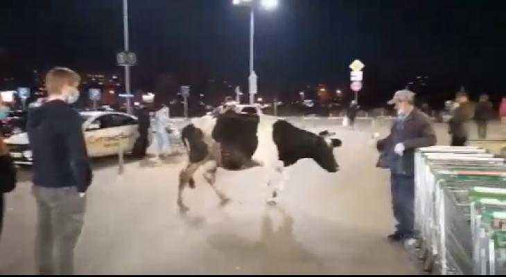 В гипермаркет Ярославля пришла корова: видео