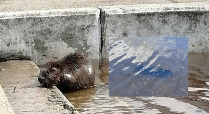 Труп поселившегося на Речном вокзале бобра нашли на затопленной набережной. Видео