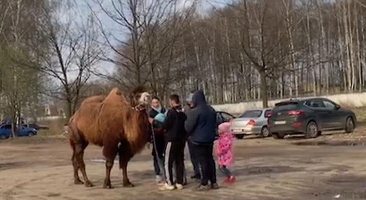 За истязание верблюда в Ярославле накажут бизнесменов