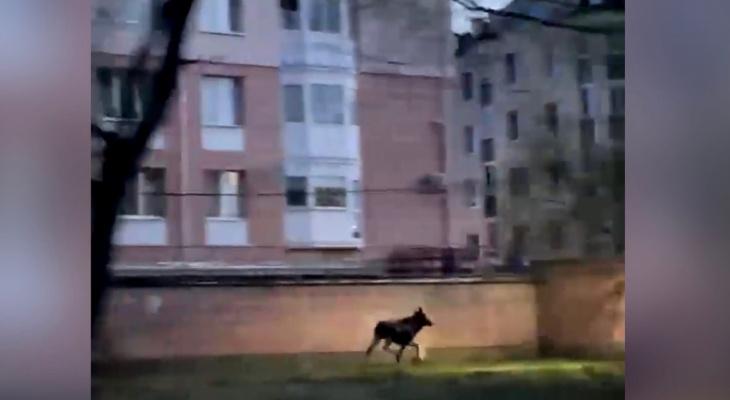 """""""Они уже как свои тут"""": в Ярославле заметили свободно гуляющего лося. Видео"""